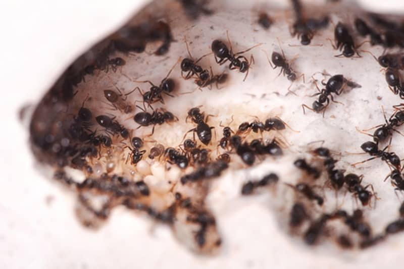 ants and Invasive pest species are a huge problem internationally.